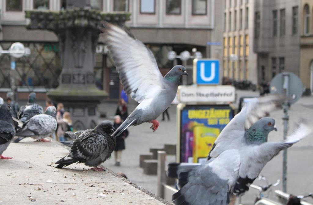 Gewohntes Bild in Köln: Wo auch immer Futter ist, sind auch die Tauben - und hinterlassen ihren Dreck.